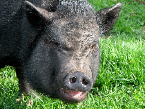 Yes, this is a pot-bellied pig. Cute eh?